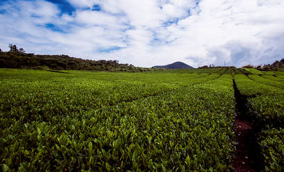 Jeju Tea Fields by Joetjuhh