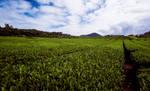 Jeju Tea Fields by Joetjuhh