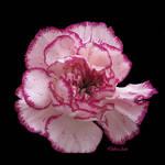 Pink Frills by Deb-e-ann