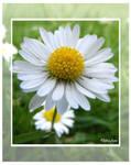 The Lawn Daisy