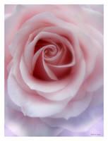 Sunday Rose 159 by Deb-e-ann