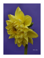 St David's Day for Clive by Deb-e-ann