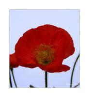 Poppy 185 by Deb-e-ann