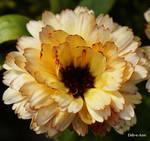 Wild Marigold