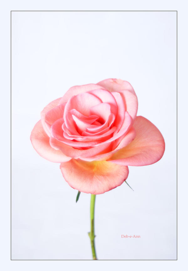 Peachy rose 060 by Deb-e-ann