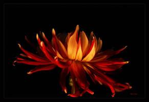 Flaming petals by Deb-e-ann