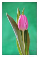 Tulip 35 by Deb-e-ann