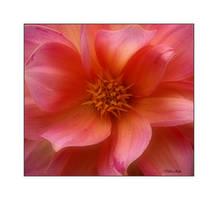 Peachy Pink by Deb-e-ann