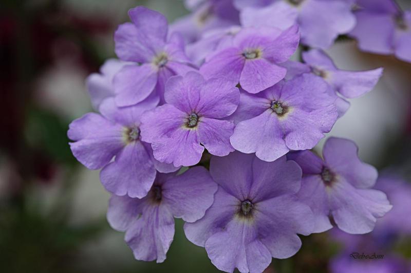 Pretty Lilac by Deb-e-ann