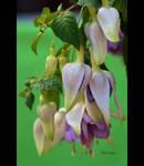 Fuchsia Chain