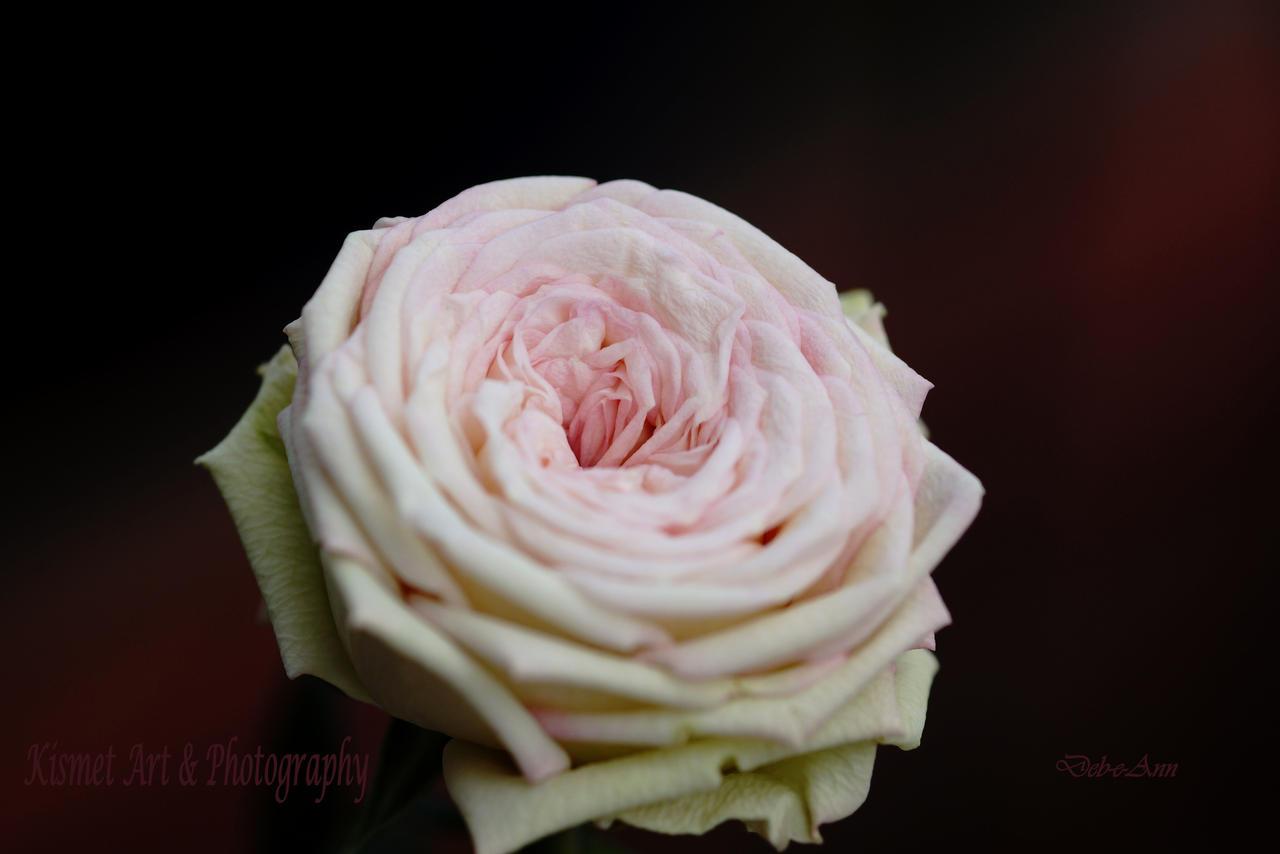 My Mini Rose 1