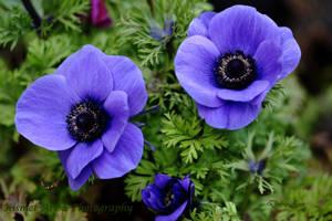 Trio OF Lilac by Deb-e-ann