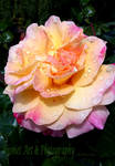 Rainkissed Rose