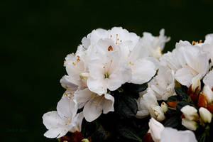 White Azaleas by Deb-e-ann