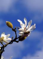 Magnolia Stellata by Deb-e-ann
