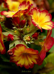 Red and Gold Polyanthus by Deb-e-ann