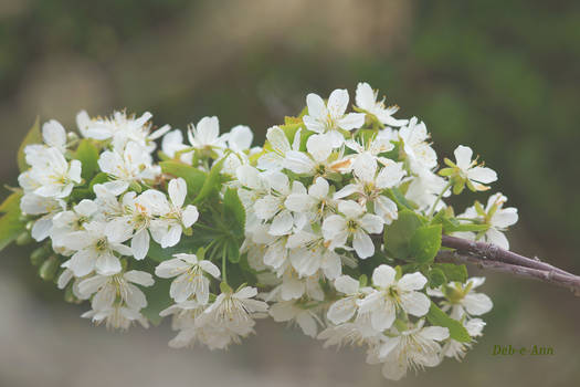 Cherry Blossom Haze by Deb-e-ann