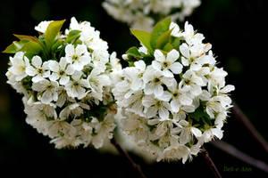 Pear Blossom by Deb-e-ann