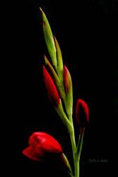 Flamenco Buds