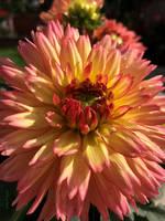 Peachy Tips by Deb-e-ann