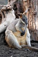 Wallaby by El-Sharra