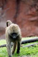 Monkey by El-Sharra