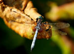 Old Dragonfly