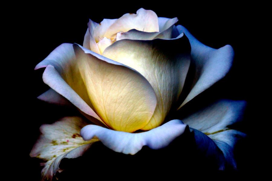 Last Rose by El-Sharra