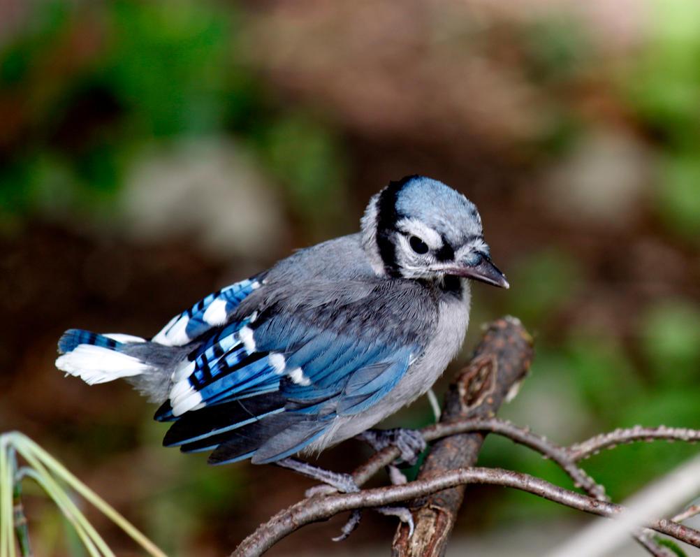 Blue Jay Baby by El-Sharra on DeviantArt