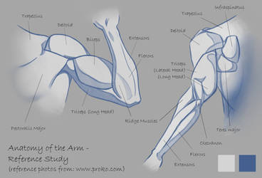Anatomy of the Arm - Reference Study
