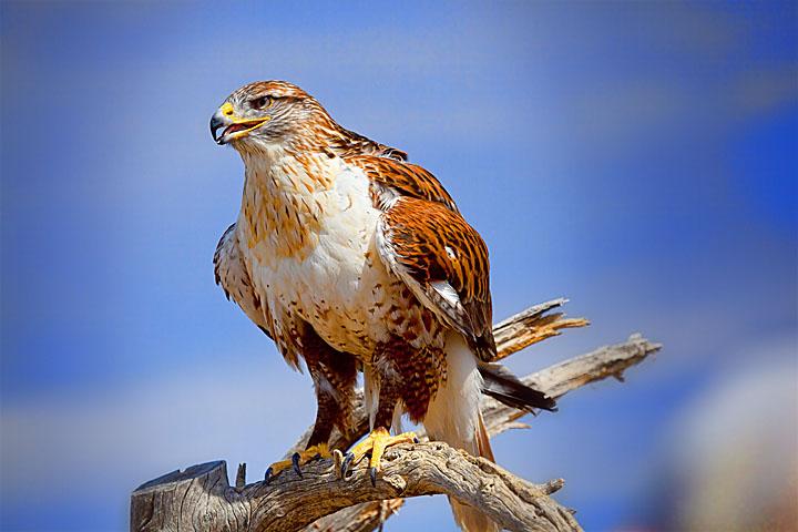 Ferruginous Hawk by malevisionstudio