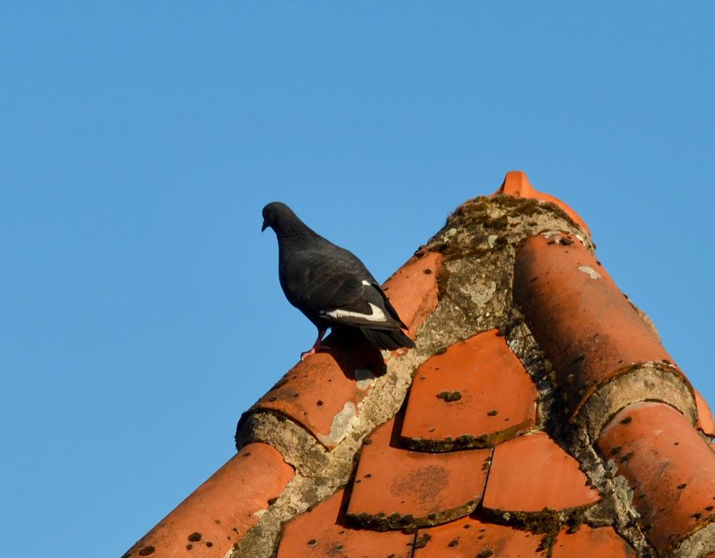 taube auf dem dach by eagles57 on deviantart. Black Bedroom Furniture Sets. Home Design Ideas
