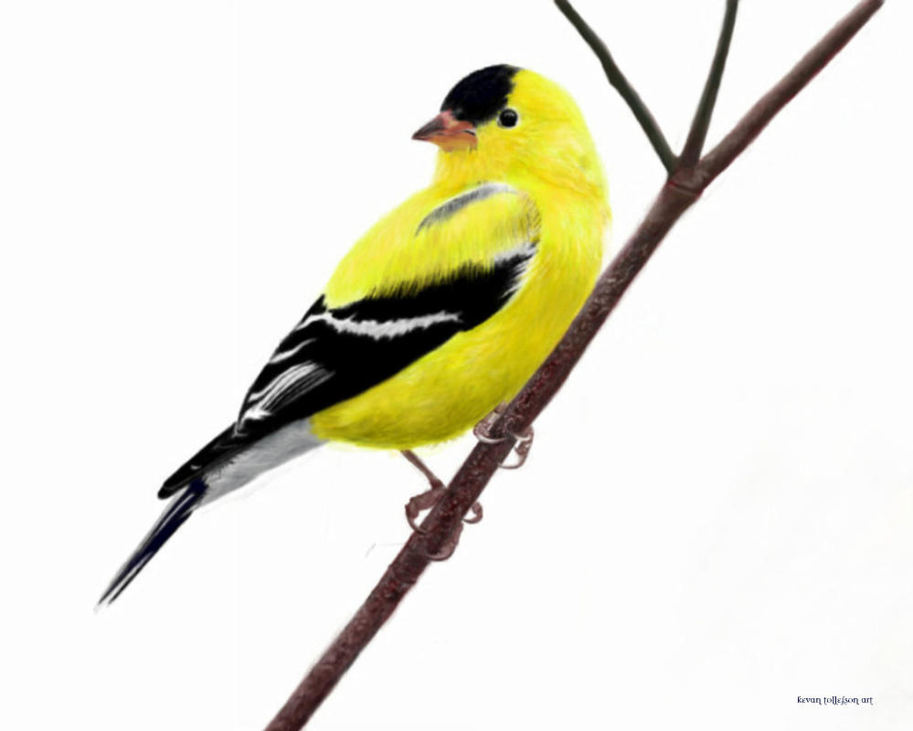 American Goldfinch by toolyman on DeviantArt