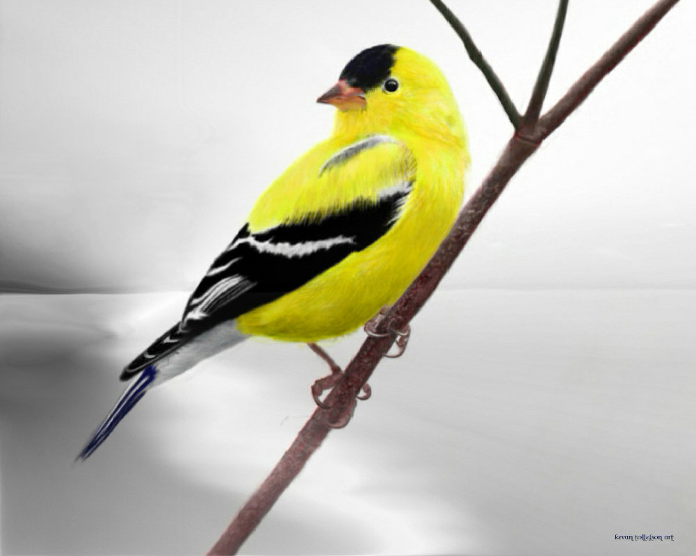 Goldfinch by toolyman