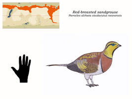 Nea - Red-breasted sandgrouse by Dontknowwhattodraw94