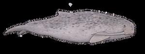 A whale that walks on its teeth