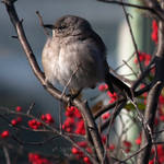 Mockingbird in Winterberry