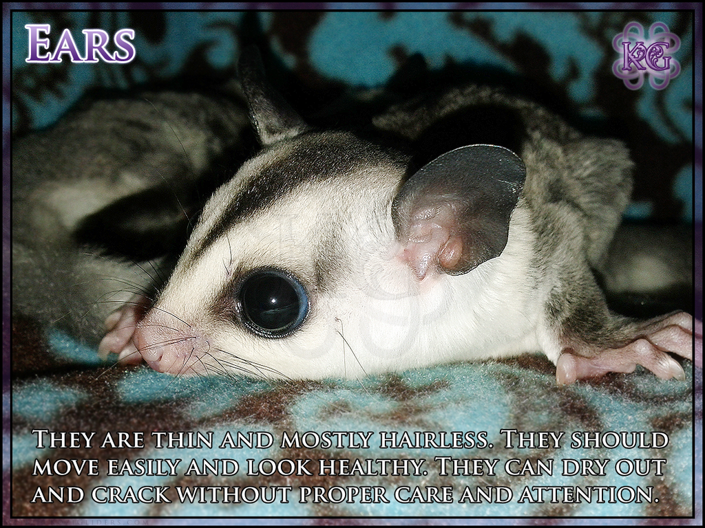 Sugar Glider Anatomy - Ears by Kozinu on DeviantArt