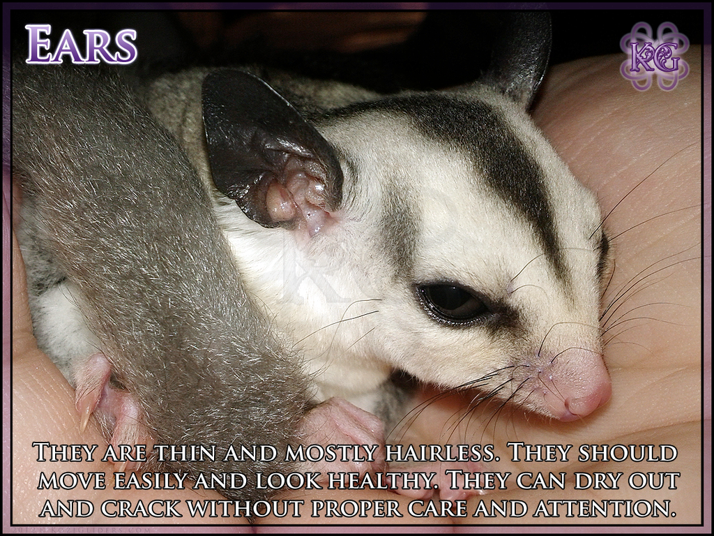 Sugar Glider Anatomy - Ears 2 by Kozinu on DeviantArt