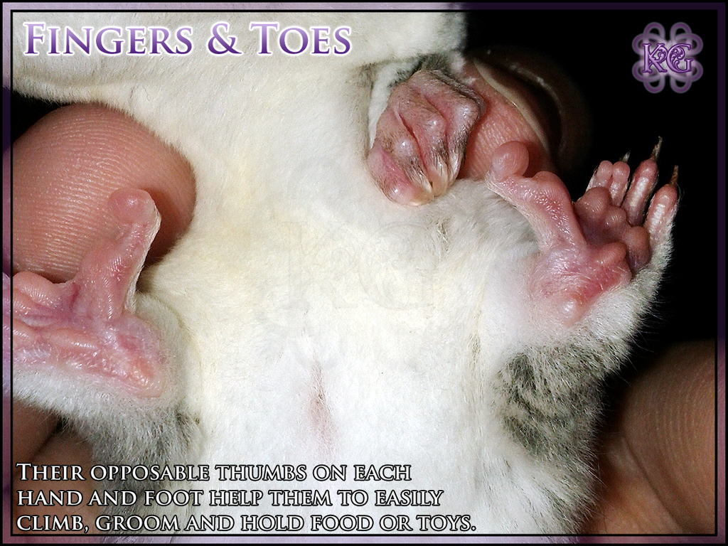 Sugar Glider Anatomy - Feet by Kozinu on DeviantArt