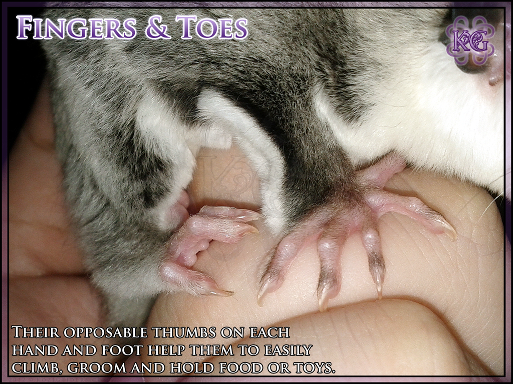 Dorable Sugar Glider Anatomy Pictures - Physiology Of Human Body ...