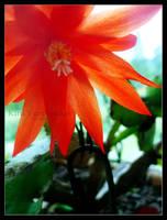 Translucent Petals by Anphitrite