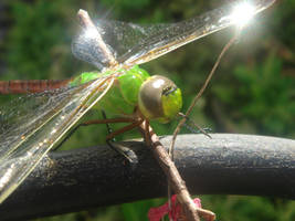 Dragon Fly Shine
