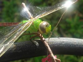 Dragon Fly Shine by xkappax