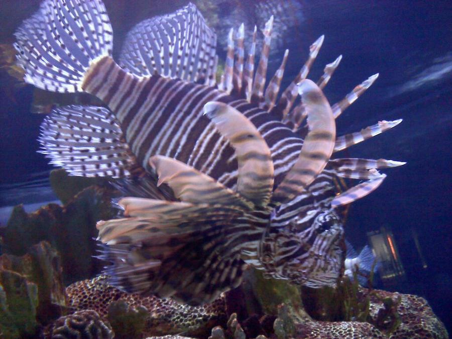 Lion Fish 2 wallpaper > Lion Fish 2 Papel de parede > Lion Fish 2 Fondos