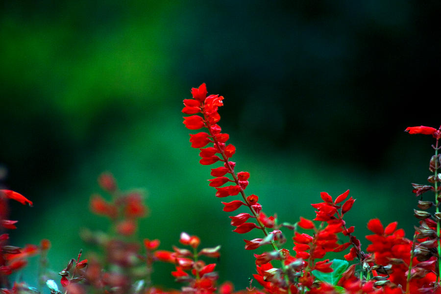 Red by AndreiLigurda