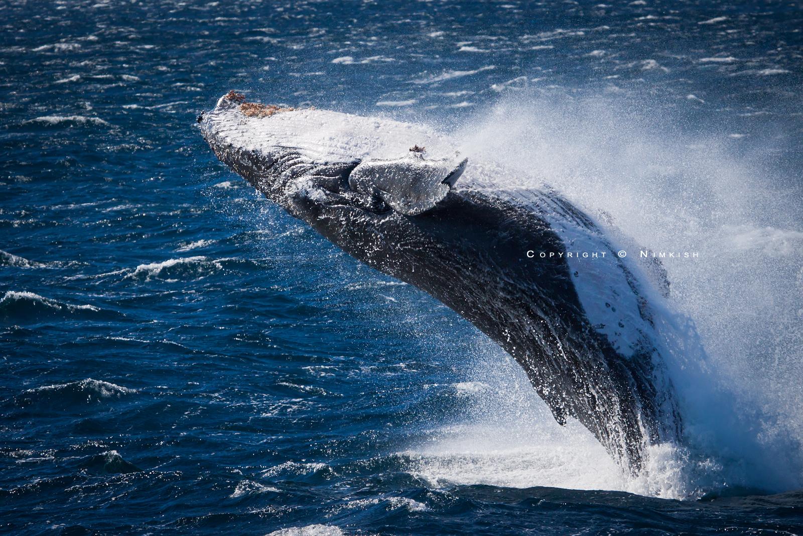 Humpback Breach by Nimkish