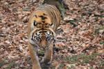 Tiger 01 by Eternalfall1