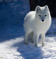 Observant Arctic Fox by Eternalfall1