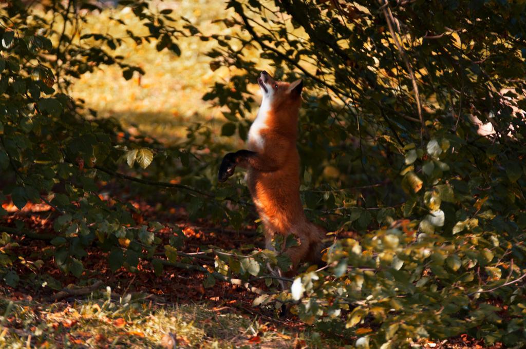 fox by VXLPhotography
